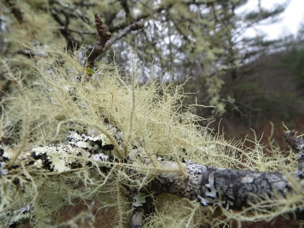 lichen on old apple tree