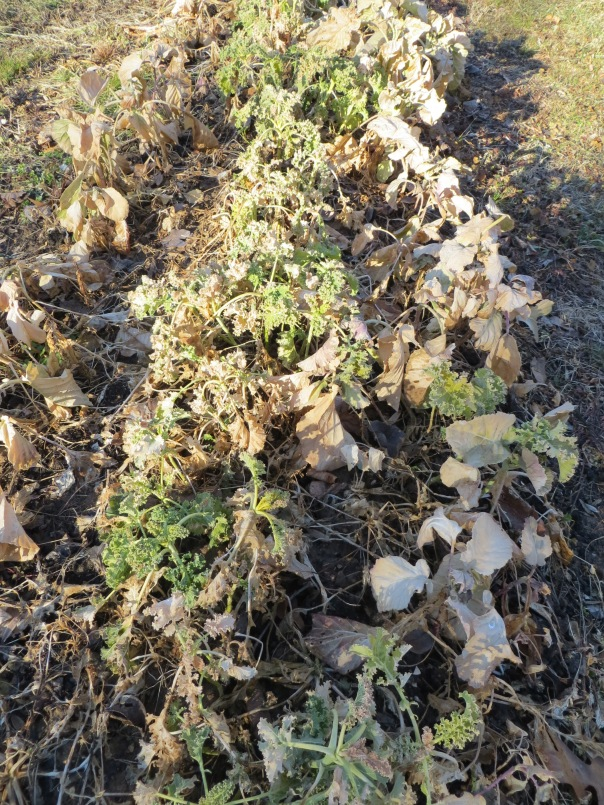 Collards and kale done in by the severe cold this winter.  Now they are my cover crop.