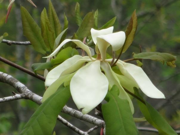 frasier magnolia