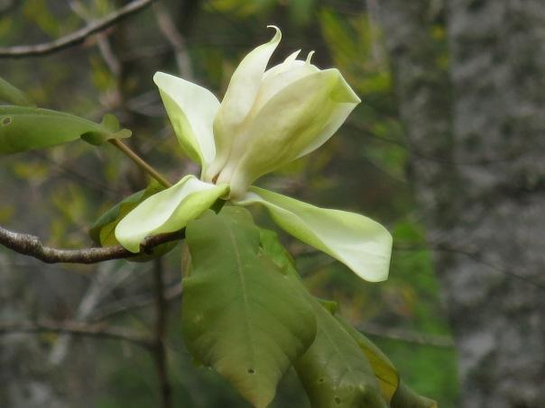 frazier magnolia