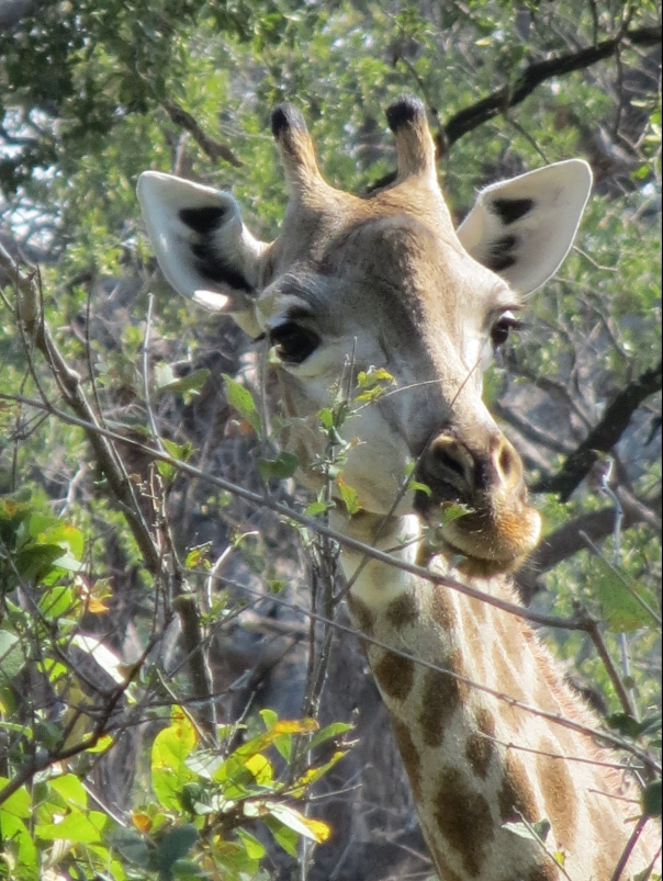 giraffe-looking.jpg